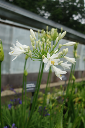 The Agapanthus Bridal Bouquet is one of the plant varieties that will feature in Hillier