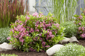 Hillier expects to see Weigela varieties back on trend, with more compact versions, like its