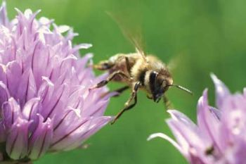 No ban for 'bee-killing' pesticides
